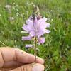 Oregon checkerbloom - Sidalcea oregana subsp. oregana (SIORO)