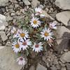 hairy Townsend daisy -  Townsendia strigosa (TOST)