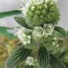 silverleaf phacelia - Phacelia hastata (PHHA)