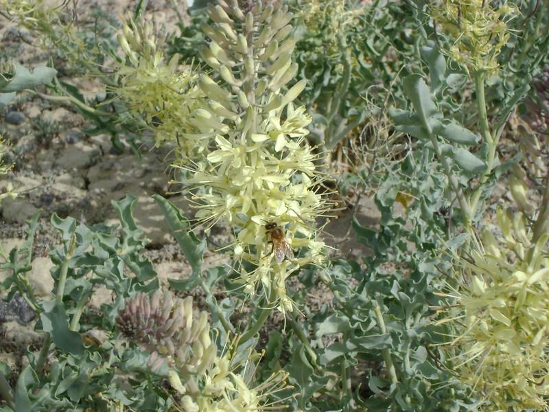 white princesplume - Stanleya albescens (STAL2)