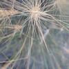 squirreltail - Elymus elymoides (ELEL5)
