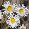 white cushion fleabane - Erigeron disparipilus (ERDI3)