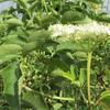 American black elderberry - Sambucus nigra subsp. canadensis (SANIC4)