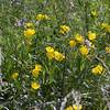 meadow evening primrose - Oenothera pilosella (OEPI2)