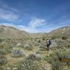 creosote bush - Larrea tridentata (LATR2)