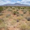 woolly desert marigold - Baileya pleniradiata (BAPL3)