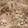 desert Indianwheat - Plantago ovata (PLOV)