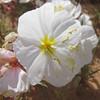 Pale evening primrose - Oenothera pallida (OEPA)