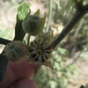 small-leaf globemallow - Sphaeralcea parvifolia (SPPA2)