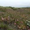 California seapink - Armeria maritima subsp. californica (ARMAC2)