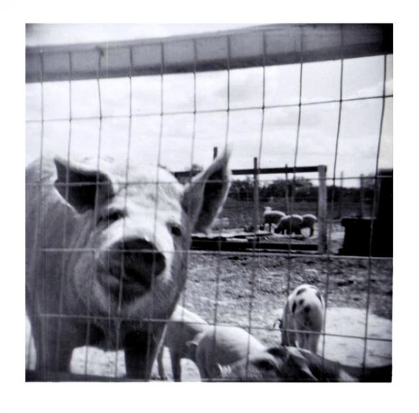 Inquisitive Pig, c. 1950s. Gelatin Silver Print Snapshot