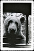 """Tickets Please."" Bear with Head in Car Window, c. 1950s. Gelatin Silver Print Snapshot"