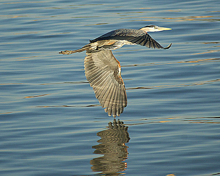 Great Blue Heron, Lorain Harbor