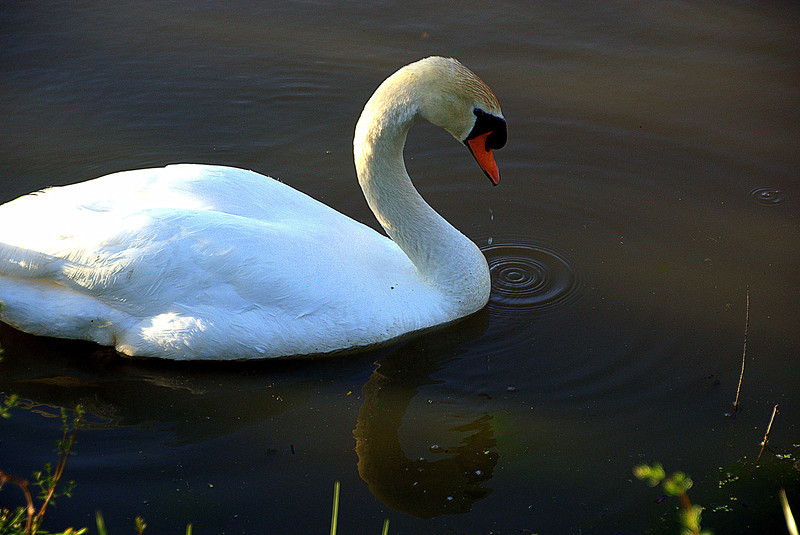 Swan, at Logan Lake, Logan Ohio