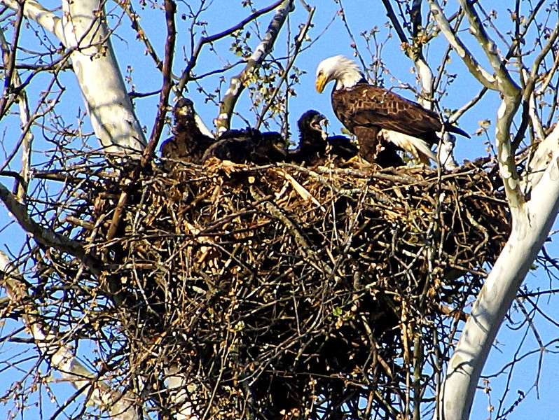 Eagles in Logan Ohio