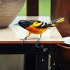 May 11, 2017: Male oriole on the back deck on a rainy afternoon.