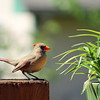 May 11, 2017: Female cardinal on the back deck.