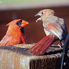 July 24, 2017: A male cardinal feeds a male juvenile.
