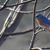 Jan. 21, 2017: I was excited to see this Eastern Bluebird perched in our backyard maple tree! I can only think of one other time that I've seen one in our yard and I'm hoping that seeing one today means spring is just right around the corner.