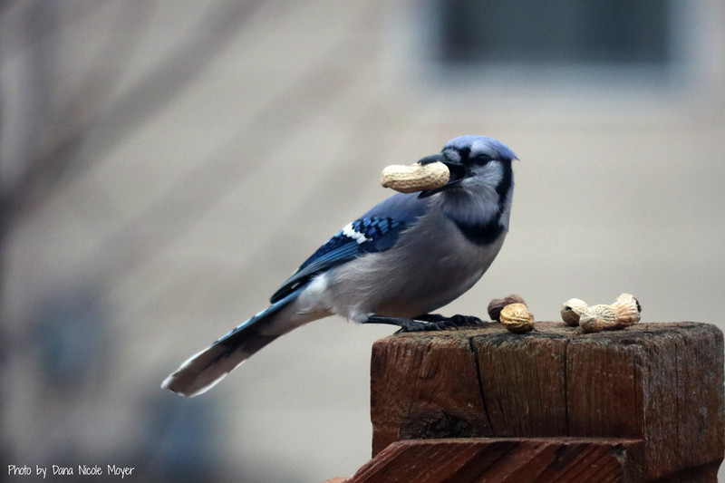 Jan. 18, 2017: Blue jays continue to stop by for peanuts on a regular basis.