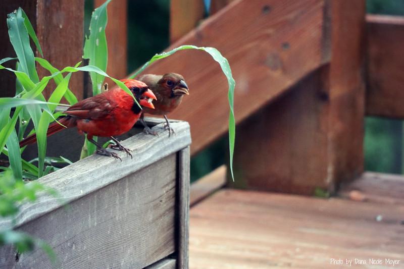 July 31, 2017: A male cardinal and a juvenile cardinal.