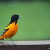 May 10, 2017: Male oriole on back deck.