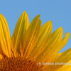 "07.10.09 = Like I said the other day, I have hundreds of phototgraphs of sunflowers.  I just loved the color and detail of this one.  This was another one that I took at sunrise.  <br /> <br /> ""Live in the sunshine, swim the sea, drink wild air...""  Ralph Waldo Emerson<br /> <br /> ENJOY THE DAY!"