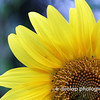 """07.02.09 = Sunflowers are such a happy flower, don't you think?  <br /> <br /> Have a happy and safe Holiday! <br /> <br /> """"Happiness is not a goal; it's a by-product.""""  Eleanor Roosevelt."""