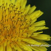 05.28.09 = I promise, this is my last dandelion post!  I just had to post the different stages.  Now, before you start pulling these fuzz balls and yellow dots out of your gardens and yards, did you know that dandelions have antioxidant properties and there are a host of things you can make from dandelions, such as WINE, jelly, facial srubs....<br /> <br /> Well, after all my ranting this week about weeds and how we don't appreciate them, I have to admit, they are still an eye sore in my garden and yard and I must confess, I just bought a big bottle of Round-Up.
