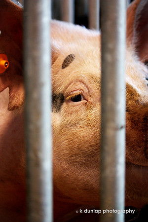 "07.27.09 = Last week was the Warren County Fair here in Ohio.  For the past ? many years, my niece and nephew have been part of 4-H and have been showing at the fair.  Pigs and rabbits have been their thing. Last year was Katie's last year showing but we have several more years for Mitchell.  This is one of his market pigs that he raised from a little squeeler.  For those of you not familiar with 4-H, here is a link to their site where you can read more about it. <br />  <a href=""http://4-h.org/4hstory.html"">http://4-h.org/4hstory.html</a><br /> <br /> The 4-H pledge:<br /> ""I Pledge my HEAD to clearer thinking, my HEART to greater loyalty, my HANDS to larger service and my HEALTH to better living, for my club, my community, my country and my world.""<br /> <br /> (I will have my SmugShots up tomorrow, I promise!)"