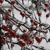 01.29.09 = We got hit by a snow and ice storm this week.  The ice has encased each branch and berry. It was really beautiful.