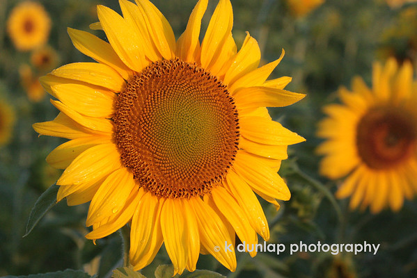 """07.14.09 = Sorry you're getting another Sunflower shot today.  I had planned on  a new series that I shot, however, I don't like any of them so they will be trashed.  Don't you hate when you think you have something really good only to find when you load it, nothing looks good?  So, we are back to the tried and true; Sunflowers.  This shot was also taken at sunrise.  This is SOOC nothing has been done it.  <br /> <br /> """"Defeat is not the worst of failures; not to have tried is the true failure.""""  George Woodberry"""