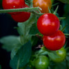 """9.16.13 = Vine to Plate<br /> <br /> """"One of the most delightful things about a garden is the anticipation it provides.""""  W. E. Johns"""
