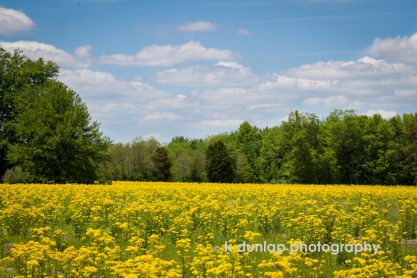 """05.21.14 = A-a-a-a-achoooo!  <br /> <br /> Ahhh, the goldenrod is in bloom.  It makes my eyes water just looking at it.  I've always thought of it as a weed, but did you know it's the state flower of Kentucky and Nebraska? <br /> <br /> """"Weeds are just plants in the wrong place at the wrong time."""" k dunlap"""