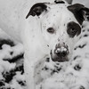 """11.18.14 =  Camouflaged<br /> <br /> Gracie was having a bit of fun rooting around in the first snow fall of the year.  Looks like she has a snow-stache. <br /> <br /> """"If you are a dog and your owner suggests that you wear a sweater, suggest that he wear a tail.""""  Fran Lebowitz"""