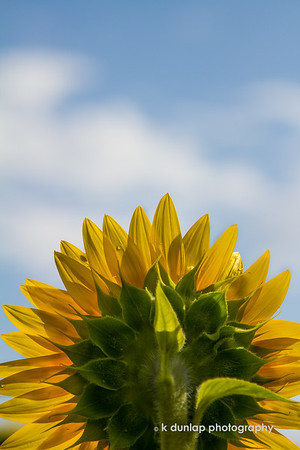 "10.27.14 = Indian Summer<br /> <br /> Well, it's going to feel like summer here in Cincinnati today, so I thought this sunflower image would be great for our final good-by's to the warm weather.  Have a great Monday!<br /> <br /> ""Keep your face always toward the sunshine - and shadows will fall behind you.""  ~Walt Whitman"