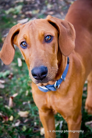 "11.04.17 = GusGus!<br /> <br /> This is Gus, or as we say, GusGus.  He is a Doberman/Hound mix and he's all legs, puppy and personality right now.  He's 6 months old and weighing in around 60lbs today. Tomorrow it will change.  He's the newest addition to my niece Katie and Matt's family. He wasn't so sure about the big black camera I was pointing at him, but a treat on the end of my lens helped a little.  Welcome to the family GusGus! <br /> <br /> ""If a dog will not come to you after having looked you in the face, you should go home and examine your conscience.""  ~Woodrow Wilson"