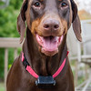 "11.01.17 = Smile!<br /> <br /> This is Lilly, a beautiful 4-year old red Doberman, that my sister and brother-in-law rescued  a couple of years ago.  I love it when dogs smile like this. She's definitely a happy and well loved girl! <br /> <br /> ""I think dogs are the most amazing creatures; they give unconditional love. For me they are the role model of being alive.""  ~Gilda Radner"