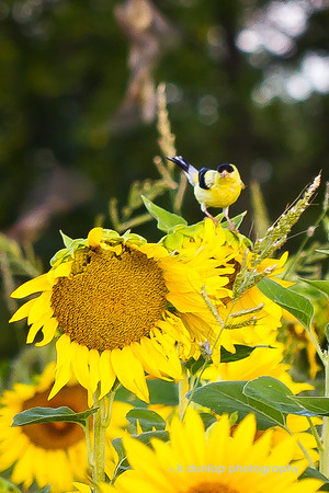 """08.01.07 = Perseverance <br /> <br /> As I watched this Goldfinch working on the sunflowers for his breakfast, I was inspired by his perseverance and determination.  He flew from sunflower to sunflower, looking for the one that was strong enough to hold him. Then, once landed, he had to balance himself on the swaying flower head and then do his best, lean over and peck motion, before maybe getting a seed.  I guess when you want something so badly, you have to keep on trying until you get it.  <br /> <br /> """"You must have long-range goals to keep you from being frustrated by short-term failures.""""  ~Charles C. Noble"""