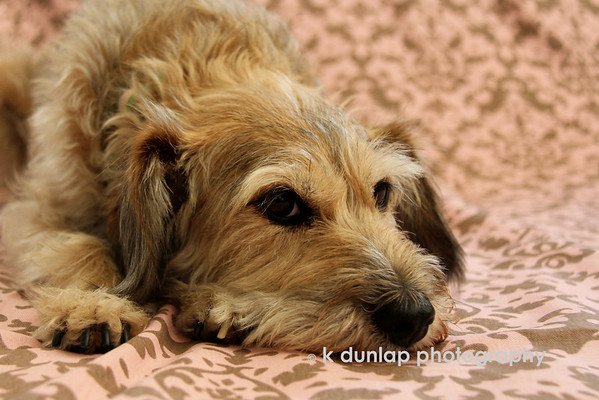 "09.03.10 = I love Lucy!<br /> <br /> The name fits this little lady to a tee.  This is one typical terrier; very busy.  When the toenails stop pattering on the floor, you better call her, because more than likely she is up to or into something.  She has her moments but for the most part, she is a one of the most loveable little dogs.  Lucy is one of sisters dogs that stayed with me a few days while she was out of town.  When you come to Aunt Kris' you are always subject to posing for a photo opp.  I think Gracie filled her in on the rules. <br /> <br /> ""Lucy, you got some splainin' to do."" Ricky Ricardo"