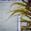 "11.14.11 = Urban weeds<br /> <br /> What's up with my fascination of weeds?  I was driving by and saw this extraordinary vine growing across this urban  retaining wall and had to turn around to photograph it.  I was amazed by the variation and vibrant color.  I thought it was just stunning.  There I was standing in an empty gravel lot photographing a wall of weeds.  People driving by must have thought I was crazy.  Heck, maybe I am a little, but I don't mind. <br /> <br /> ""Weeds are just plants in the wrong place at the wrong time.""  Kristan Dunlap"