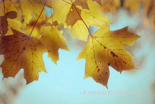 """10.26.11 = An aging Autumn<br /> <br /> """"How beautifully leaves grow old.  How full of light and color are their last days. """"  John Burroughs"""