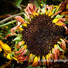 "10.20.11 = Strange Beauty<br /> <br /> So if you haven't guessed by now, I happened upon a sunflower field the other day.  I was driving along when I saw them all standing there fighting for their last bit of glory.  I felt it was my duty as a lover of sunflowers and a photographer, to take some time out to capture their last stand.  I found a place to pull over, (much thanks to my Ford Explorer) and began walking among the tall thick stalks.  There was a strange beauty to it all.  They were all in various stages of their short little lives.  Some fresh and new, while others had already fallen to the ground.  There were a few drowsy bumble bees still skipping from flower to flower looking for their last bit as well.  I found myself shooting more photos of the wilting flowers rather than the fresh new ones.  The older flowers seemed to have more character and detail to them.  As they began to age, they seemed to stand out more as an individual flower rather than a field of flowers. Or maybe I could just relate to them, not being such a fresh flower myself anymore.  Hmmm, makes you think about life a little bit doesn't it?  <br /> <br /> Here's the link to others in this series. <a href=""http://www.kdunlapphotography.com/Nature/Sunflowers-Only/9028069_dq9Tp9#1540182877_JzwpTQq"">http://www.kdunlapphotography.com/Nature/Sunflowers-Only/9028069_dq9Tp9#1540182877_JzwpTQq</a><br /> <br /> ""The innocent and the beautiful have no enemy but time.""  William Butler Yates"