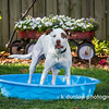 "06.18.15 = Before<br /> <br /> This is a quick shot of Gracie having fun, running and playing BEFORE she ruptured her ACL on Sunday.  Yep, she ruptured her ACL (CCL in dogs) and is having surgery today to repair it.  She let out two loud yelps when it happened and she hasn't been able to put weight on it all week. Needless to say, it's been difficult for her to do her business with only one back leg to support her.  So I'm getting the house prepared for her homecoming tomorrow.  Getting the baby-gates out so she won't attempt the stairs.  Getting her bed and blankets all washed and moved downstairs.  Looks like I'll be doing some sofa-sleeping for several nights so I can be next to her.  Just one of life's unexpected obstacles. <br /> <br /> ""A smooth sea never made a skillful sailor.""  ~Unknown"