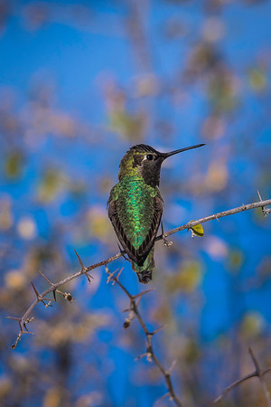 Anna's Hummingbird (male)