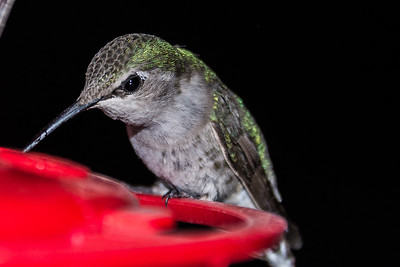 Costa's Hummingbird