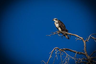 Osprey perched 1