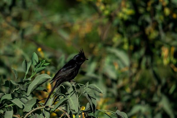 Phainopepla (male)