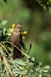 Phainopepla (female)