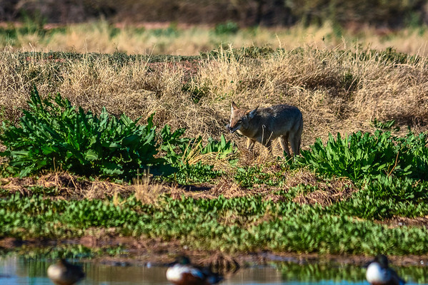 Coyote snacking on a rodent